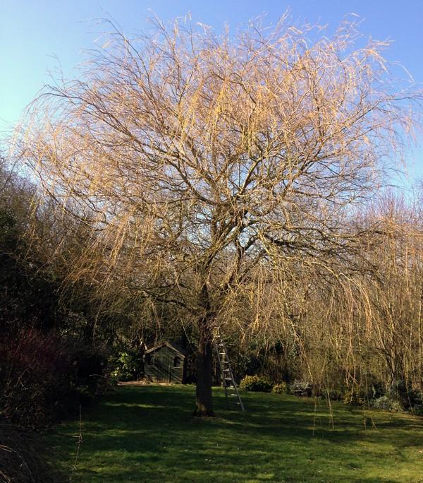 PJC Trees - Pollarding